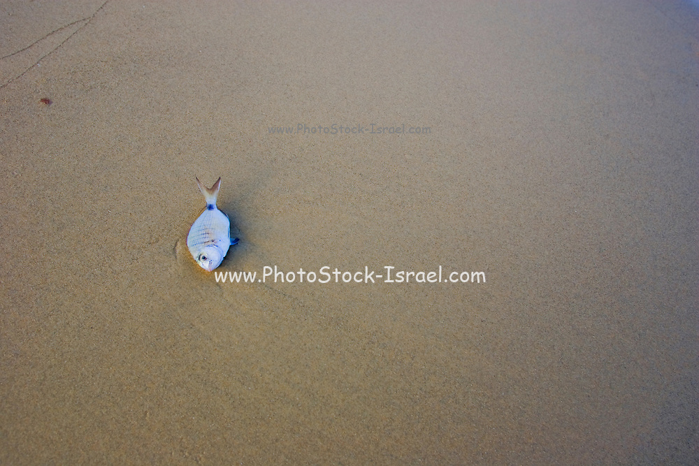 A dead fish washed up on the beach. Photographed on the Mediterranean Shore, Israel