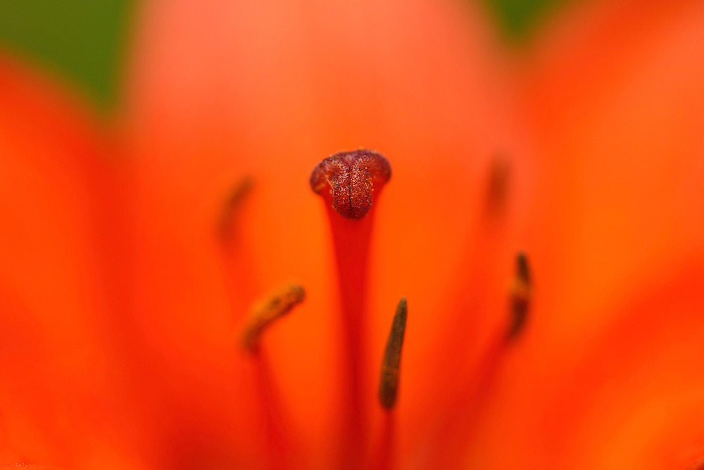 Orange fire lily, Lilium bulbiferum, North Velebit National Park,  Velebit Nature Park, Rewilding Europe rewilding area, Velebit  mountains, Croatia