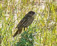 Female Red-winged Blackbird (Agelaius phoeniceus). Lily Lake. Rocky Mountain National Park, Colorado. Image taken with a Nikon D2xs camera and 105 mm f/2.8 VR macro lens.