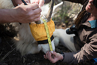 Wyoming Game & Fish biologists take samples and measurements from a tranquilized mountain goat last week near Alpine.