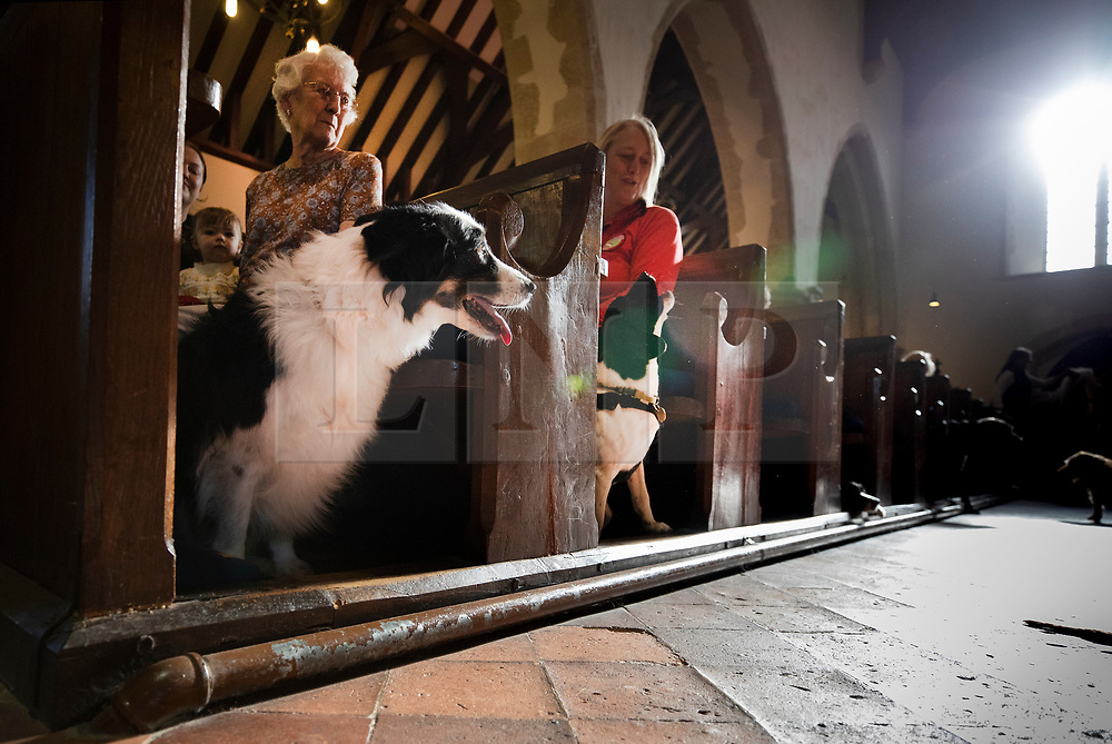 © Licensed to London News Pictures. 06/10/2019. Selsey, UK. Border Collie Boo (L) and Rafi , a Springer Spaniel/Jack Russell cross wait to take part in the annual Service of Blessing of Animals at St Peter's Church in Selsey, West Sussex. Parishioners bring their pets to the church for the annual service after earlier attending a Harvest Festival celebration. Photo credit: Peter Macdiarmid/LNP
