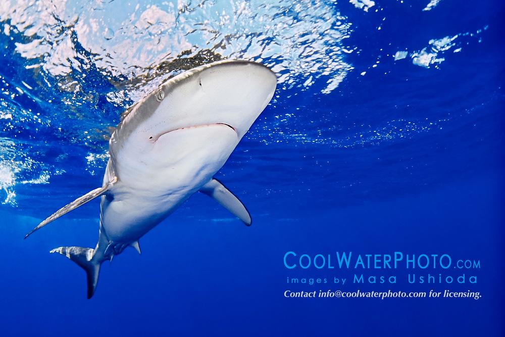 Galapagos shark, Carcharhinus galapagensis, North Shore, Oahu, Hawaii, USA, Pacific Ocean