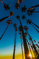 Palm trees, Cabrillo Boulevard, Santa Barbara, California USA.
