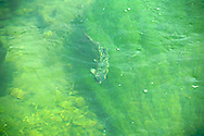 Trout in the water at Kilpatrick Bridge, Silver Creek Preserve