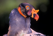 The King Vulture, Sarcoramphus papa, is a large, colorful scavenger bird found in Central and South America.