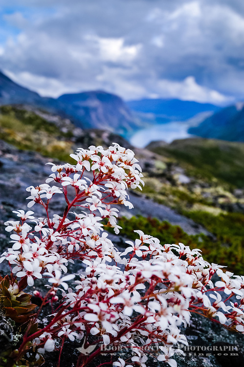 Norway, Jotunheimen. The Pyramidal saxifrage (Bergfrue) is a national flower of Norway. Above the Gjende Lake