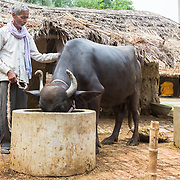 CAPTION: Feeding a buffalo in Baharayen. Under SPEED, Ram Khilavan expects to be able to significantly expand his dairy farming business. LOCATION: Baharayen, Faizabad District, Uttar Pradesh, India. INDIVIDUAL(S) PHOTOGRAPHED: Ram Khilavan.