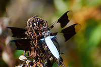 Dragonfly. Summer Nature in New Jersey. Image taken with a Nikon 1 V1 +  FT1 + 70-30 mm VR lens (ISO 400, 240 mm, f/5.6, 1/800 sec) and monopod. [FOV Equivalent to ~ 650 mm on a 35 mm image sensor]..