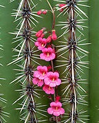 Penstemon Growing on Saguaro Cactus, Saguaro National Park, Arizona