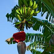 Bananas growing on Tutuila Island, American Samoa.