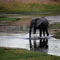 Africa, Botswana, Savute. Elephant crossing river at Savute Elephant Camp.