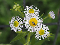 A tiny bee, probaby a member of Sweat Bees, dines on an Annual Fleabane flower