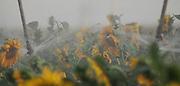 Sunflower field irrigation