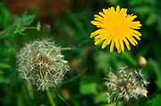 ADFTK3 Dandelion yellow flower with seed clock together