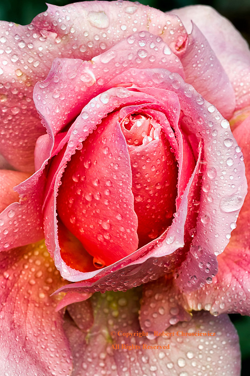 Pretty in Pink: A macro view of a blossoming pink rose after a rain fall, Minter Gardens, Chilliwack British Columbia Canada.