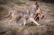 A coyote (canis latrans) runs off with a lamb illustrating a common conflict between ranchers and predators.