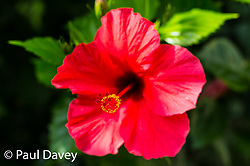 A hibiscus blossom in the gardens of the quinta Jardins da Lago Hotel in Funchal, Madeira. MADEIRA, September 25 2018. © Paul Davey