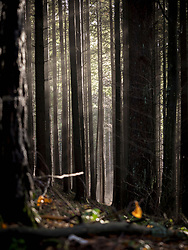 Trees in Black Forest, Baden-Wurttemberg, Germany