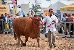 © Licensed to London News Pictures. 27/05/2015. Shepton Mallet, Somerset, UK.  Beef cattle are paraded for judging at the Royal Bath & West Show.  Photo credit : Simon Chapman/LNP