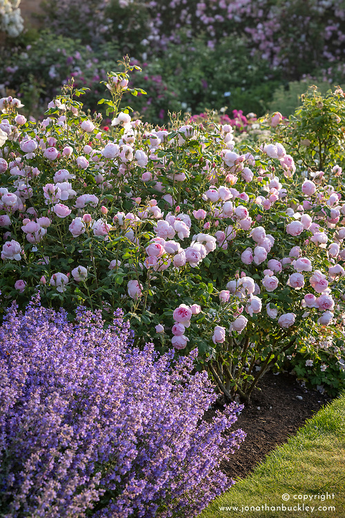 Rosa 'Scepter'd Isle' and catmint in the Lion Garden
