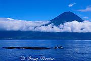 sei whales, Balaenoptera borealis, in front of Pico Mountain, Azores Islands, Portugal ( North Atlantic Ocean )