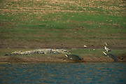 Mugger crocodile (Crocodylus palustris) & Indian softshell turtle (Nilssonia gangetica)<br /> National Chambal Sanctuary or National Chambal Gharial Wildlife Sanctuary<br /> Madhya Pradesh, India<br /> Range: Indian Subcontinent & surrounding countries.<br /> VULNERABLE