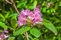 One of the most spectacular of the small flowering trees on the West Coast is the Pacific rhododendron. Ranging from the Monteray area in California north into British Columbia, this  one was photographed about halfway up Northern Oregon's Larch Mountain.