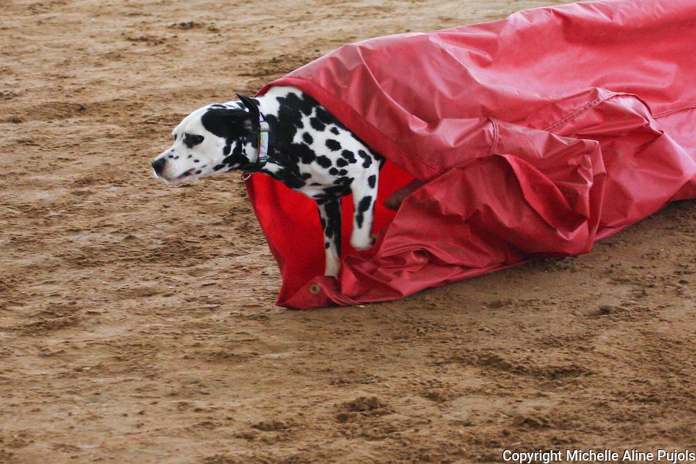 Dalmatian going through chute at Dog Agility Trials