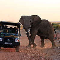 Africa, Kenya, Amboseli. Elephant and Jeep at Amboseli.