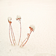 Last season's dried flowers are topped with freshly fallen New England winter snow