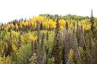 "Boreal forest near the Tashenshini River. The ""Tat"" flows out of Yukon, CA, through British Columbia and empties into Glacier Bay National Park in Alaska, US."
