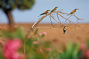 Bee-eater, one of the most colourful birds of Southern Europe gather is large colonies on riverbanks. They feed in insects, mostly on bee (thus the name)