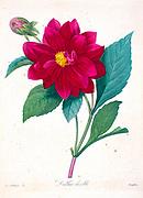 19th-century hand painted Engraving illustration of a Double Dahlia flower, by Pierre-Joseph Redoute. Published in Choix Des Plus Belles Fleurs, Paris (1827). by Redouté, Pierre Joseph, 1759-1840.; Chapuis, Jean Baptiste.; Ernest Panckoucke.; Langois, Dr.; Bessin, R.; Victor, fl. ca. 1820-1850.
