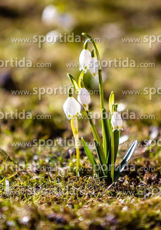 THEMENBILD - Frühlingsknotenblumen (Leucojum vernum) auf der Wiese, aufgenommen am 17. März 2019, Kaprun, Österreich // Spring knotflowers (Leucojum vernum) on a meadow on 2019/03/17, Kaprun, Austria. EXPA Pictures © 2019, PhotoCredit: EXPA/ Stefanie Oberhauser