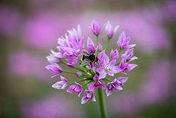 Allium unifolium 'Eros' with bumblebee