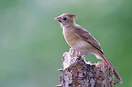 Northern Cardinal - Cardinalis cardinalis - juvenile