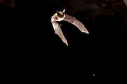 Western long-eared bat (Myotis evotis) flying out of Pond Cave in Craters of the Moon National Monument, Idaho.