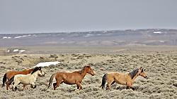 Wyoming Mustangs running free on the desert near Farson Wyoming