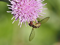 A little Eastern Calligrapher fly (Toxomerus geminatus) on a thistle in Central Park, Aug. 25, 2021.