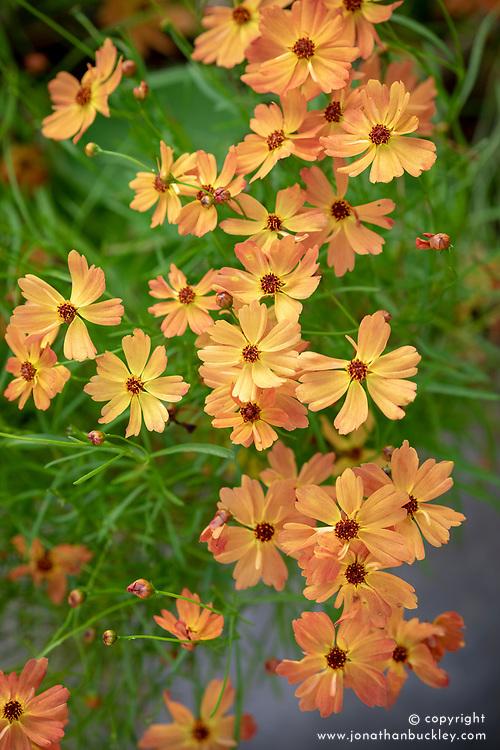 Coreopsis lanceolata 'Mango Punch' Punch Series