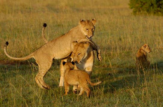African Lion (Panthera leo) Cubs playing with mother. Masai Mara National Park. Kenya. Africa.