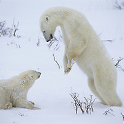Polar Bear mother playing with her cub. Hudson Bay, Canada