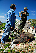 Two men with wild pig they have killed. Rascane, Croatia