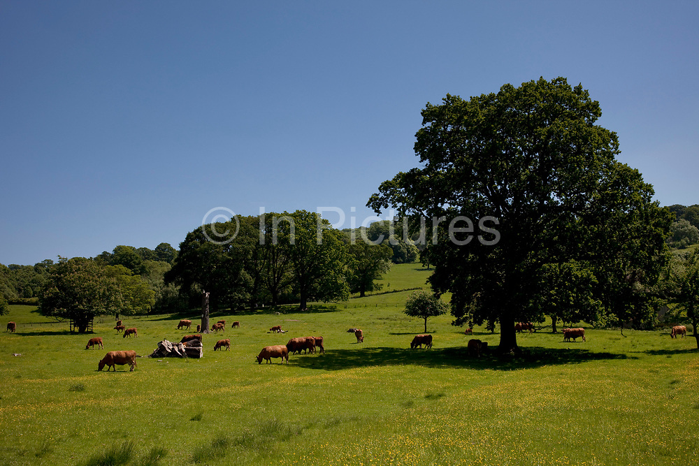 Dairty cows graze the lush green grass in an idylic setting near Stanton, The Cotswolds, Gloucestershire, UK.  Popular with both the English themselves and international visitors from all over the world, the area is well known for gentle hillsides 'wolds', outstanding countryside, sleepy ancient limestone villages, historic market towns and for being so 'typically English' where time has stood still for over 300 years. Throughout the Cotswolds stone features in buildings and stone walls act as a common thread in seamlessly blending the historic towns & villages with their surrounding landscape. One of the most 'quintessentially English' and unspoiled regions of England.