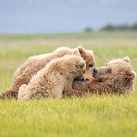 A brown bear sow nurses her yearling cubs in Hallo Bay, Katmai National Park