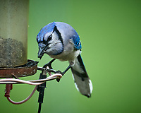 Blue Jay. Image taken with a Nikon D5 camera and 600 mm f/4 VR lens (ISO 1000, 600 mm, f/5.6, 1/320 sec)