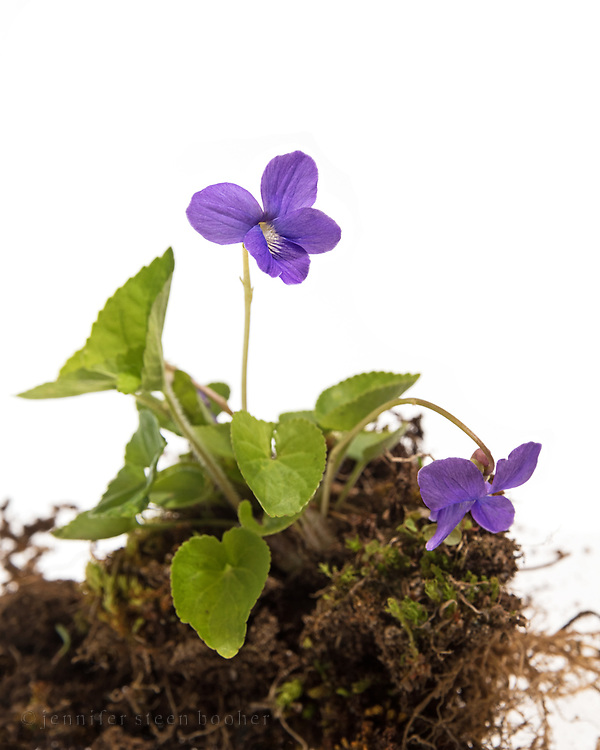 Botanical photo of the Common Blue Violet showing the entire plant - roots, leaves, and flowers.
