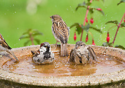 House sparrow, Passer domesticus, group bathing in birdbath in garden, Inverness-shire, Highland.<br /> animal; animals; bird; birds; sparrows; nature; wildlife; adult;<br /> group; flock; several; pair; stood; standing; look; looking; <br /> watch; watching; urban; perch;