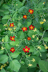 Companion planting of Tagetes tenuifoila 'Red Gem' - Mexican marigold - growing with tomatoes