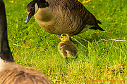 20180606_home_gosling_born_6_5_wrfarm_diane_duthie_designs_